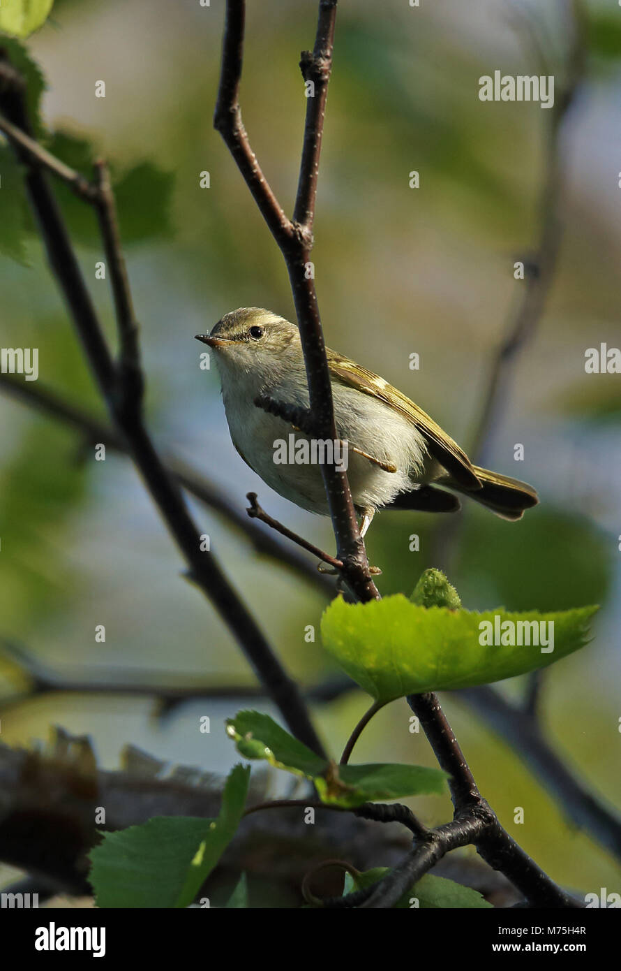Hume's Leaf-warbler (Phylloscopus humei mandellii) adult pearched on branch  Old Peak, Hebei, China       May Stock Photo