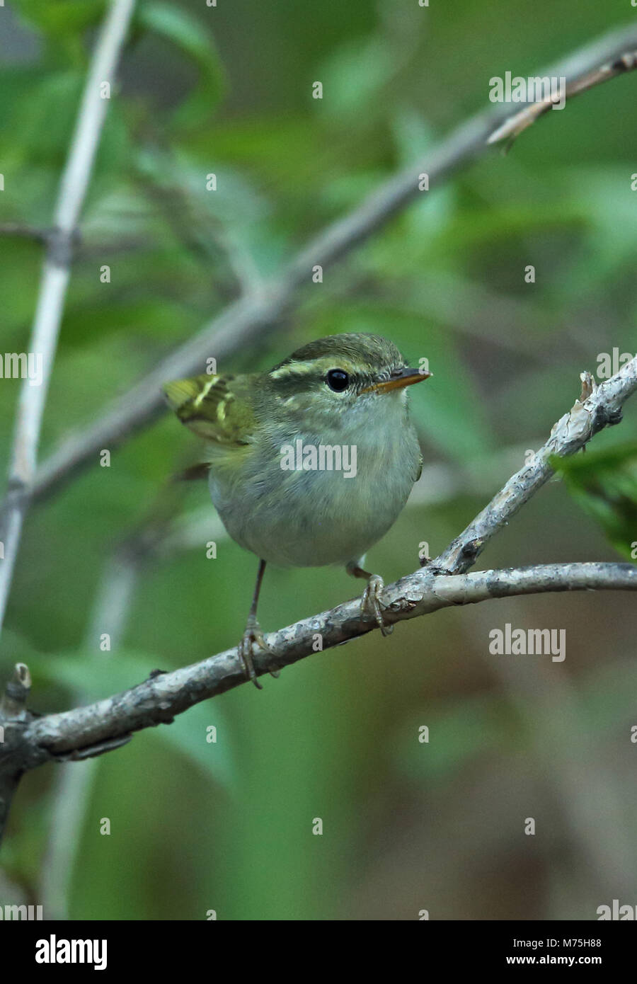 Claudia's Leaf-warbler (Phylloscopus claudiae) adult perched on branch, performing wing-flicking display  Old Peak, Stock Photo