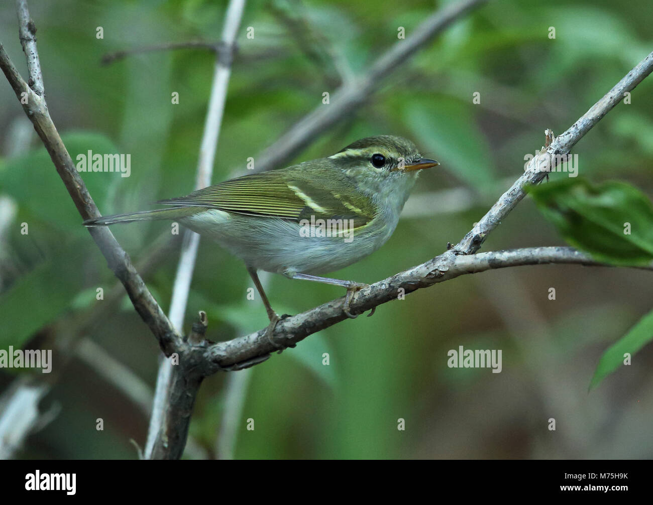 Claudia' Leaf-warbler (Phylloscopus daudiae) adult perched on branch  Old Peak, Hebei, China             May Stock Photo