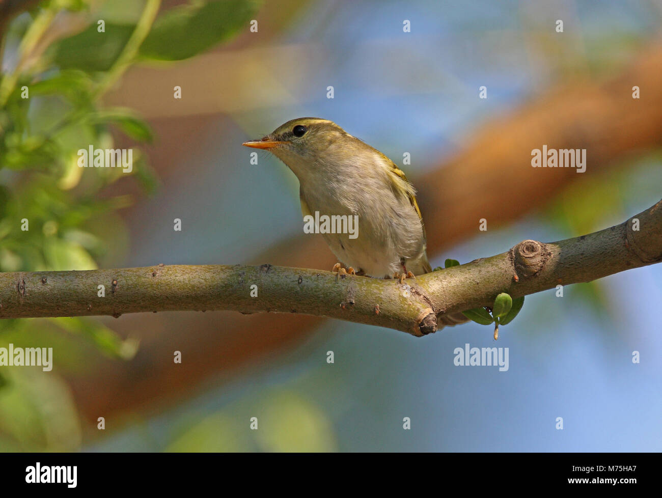 Claudia' Leaf-warbler (Phylloscopus daudiae) adult perched on branch  Bejing, China             May Stock Photo