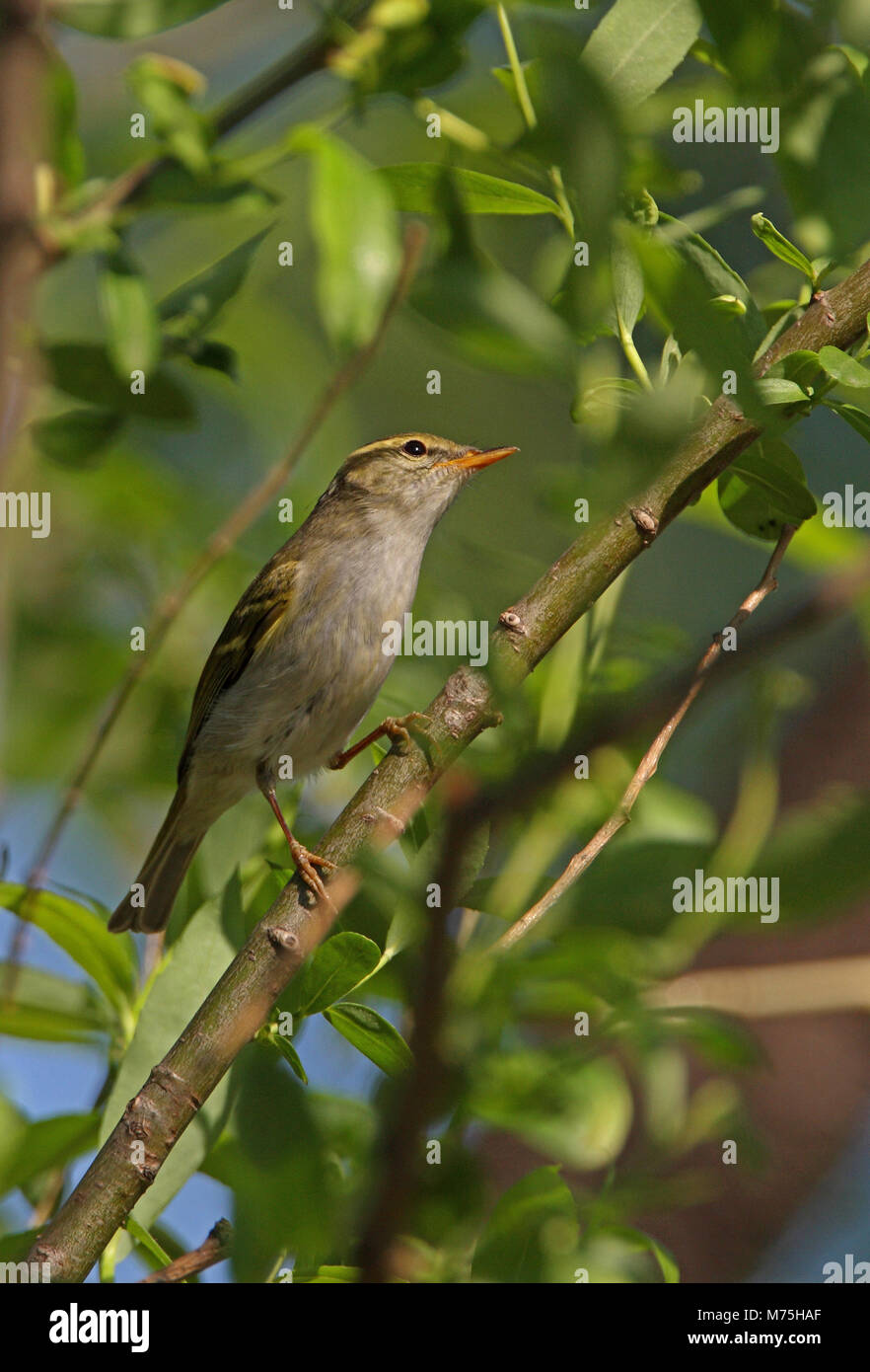Claudia' Leaf-warbler (Phylloscopus daudiae) adult perched in tree  Bejing, China             May Stock Photo