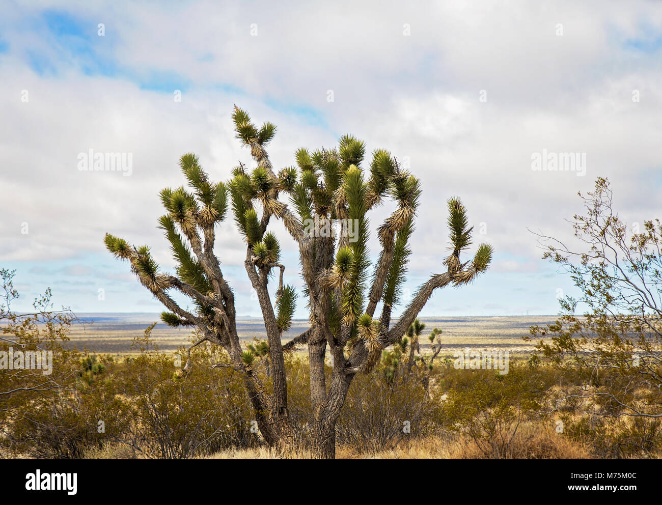 a joshua tree in a spring time desert landscape in nevada stock