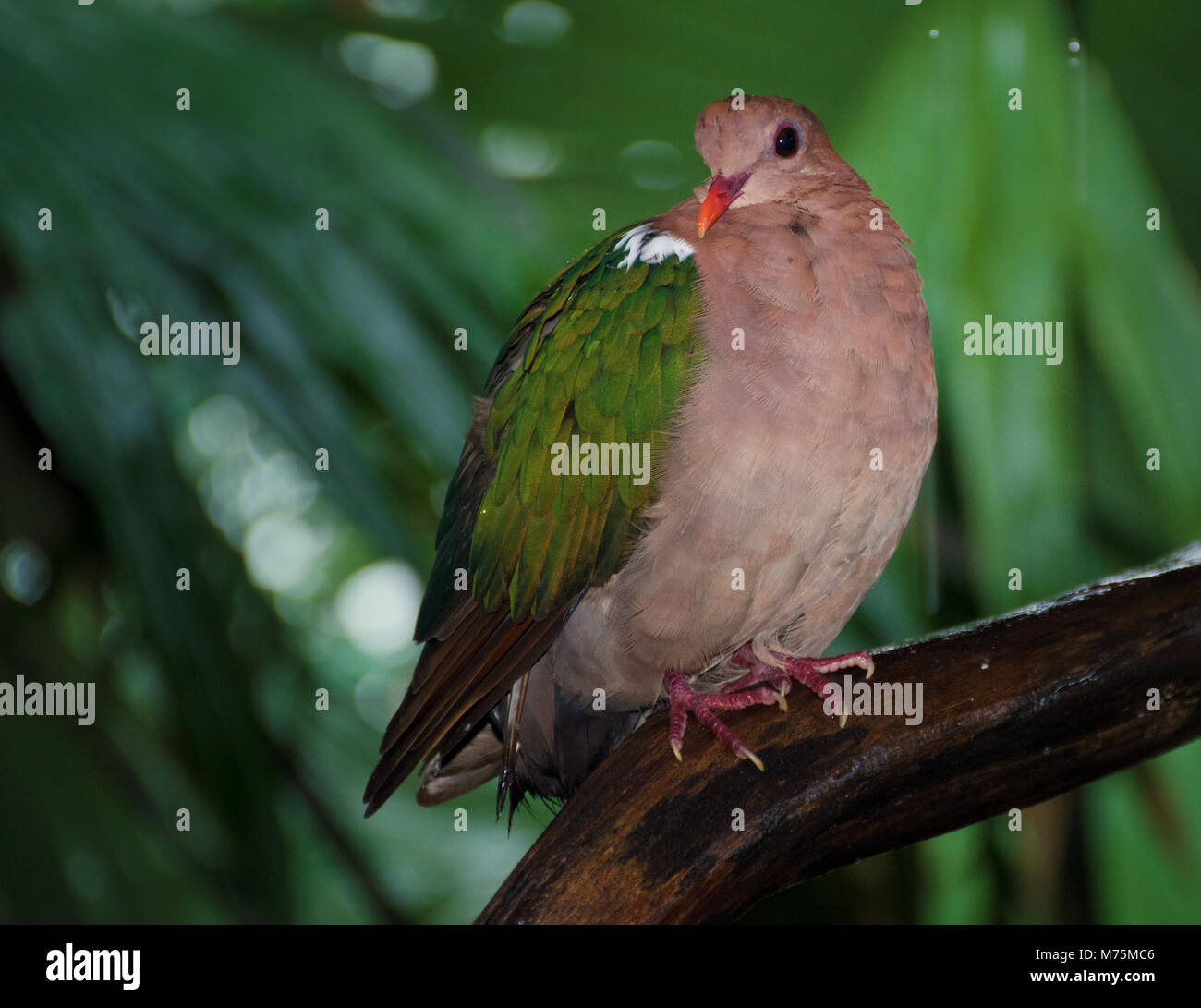 A wet Wompoo Fruit Dove (Ptilinopus magnificus), or  wompoo pigeon, from New Guinea sits on a rainforest branch - Stock Image