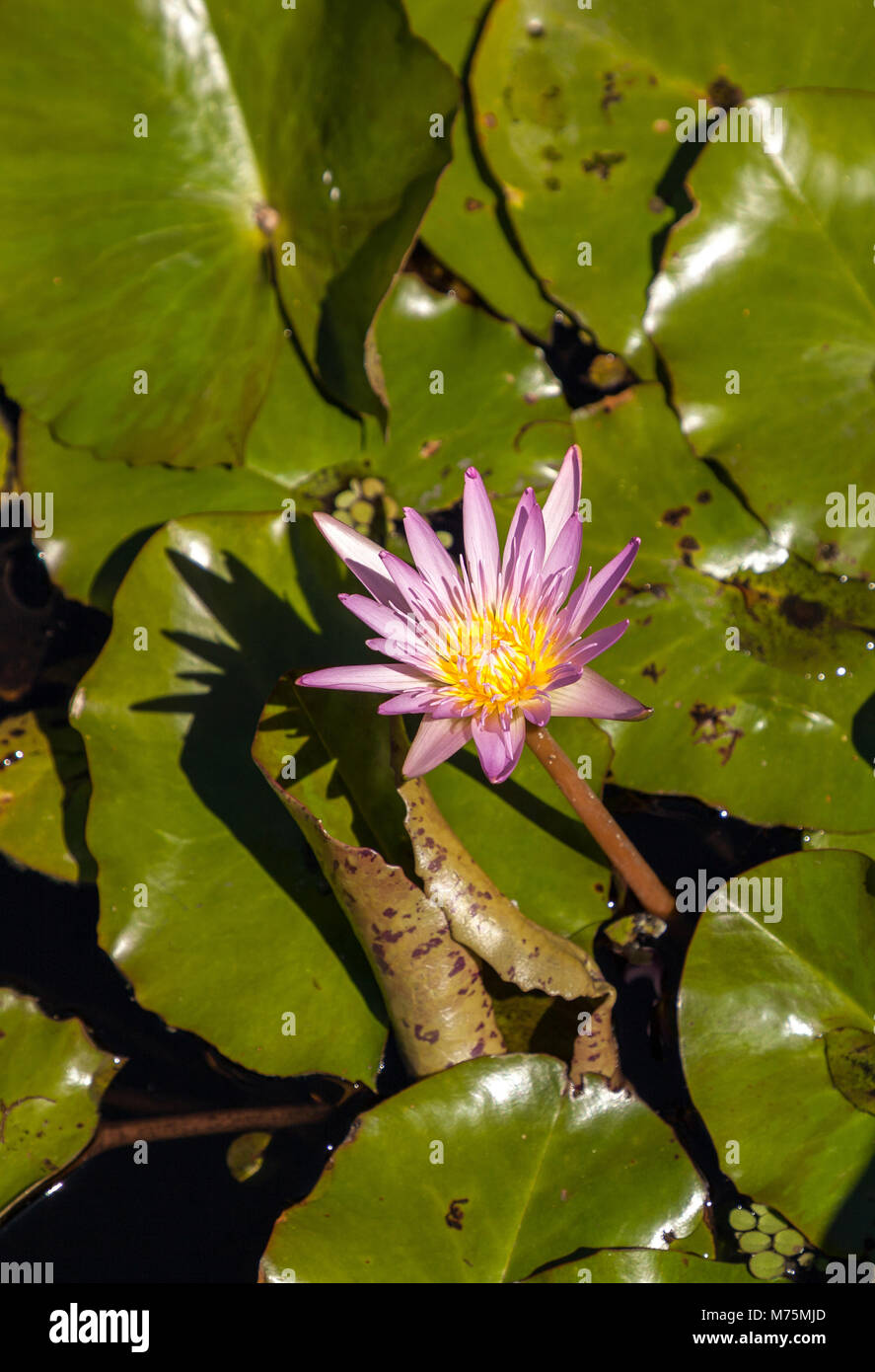 Blue Star Water Lily Nymphaea Nouchali Blossoms Among Lily Pads On A