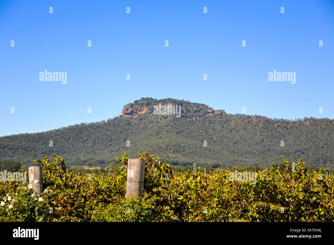 Vineyards and mountain landscape in clear blue sky. Hunter Valley, News South Wales, Australia. - Stock Image