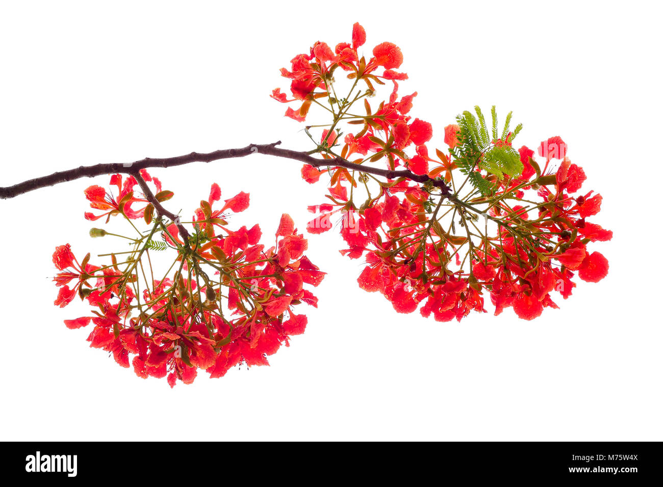 royal poinciana flower , red flower isolated on white background - Stock Image