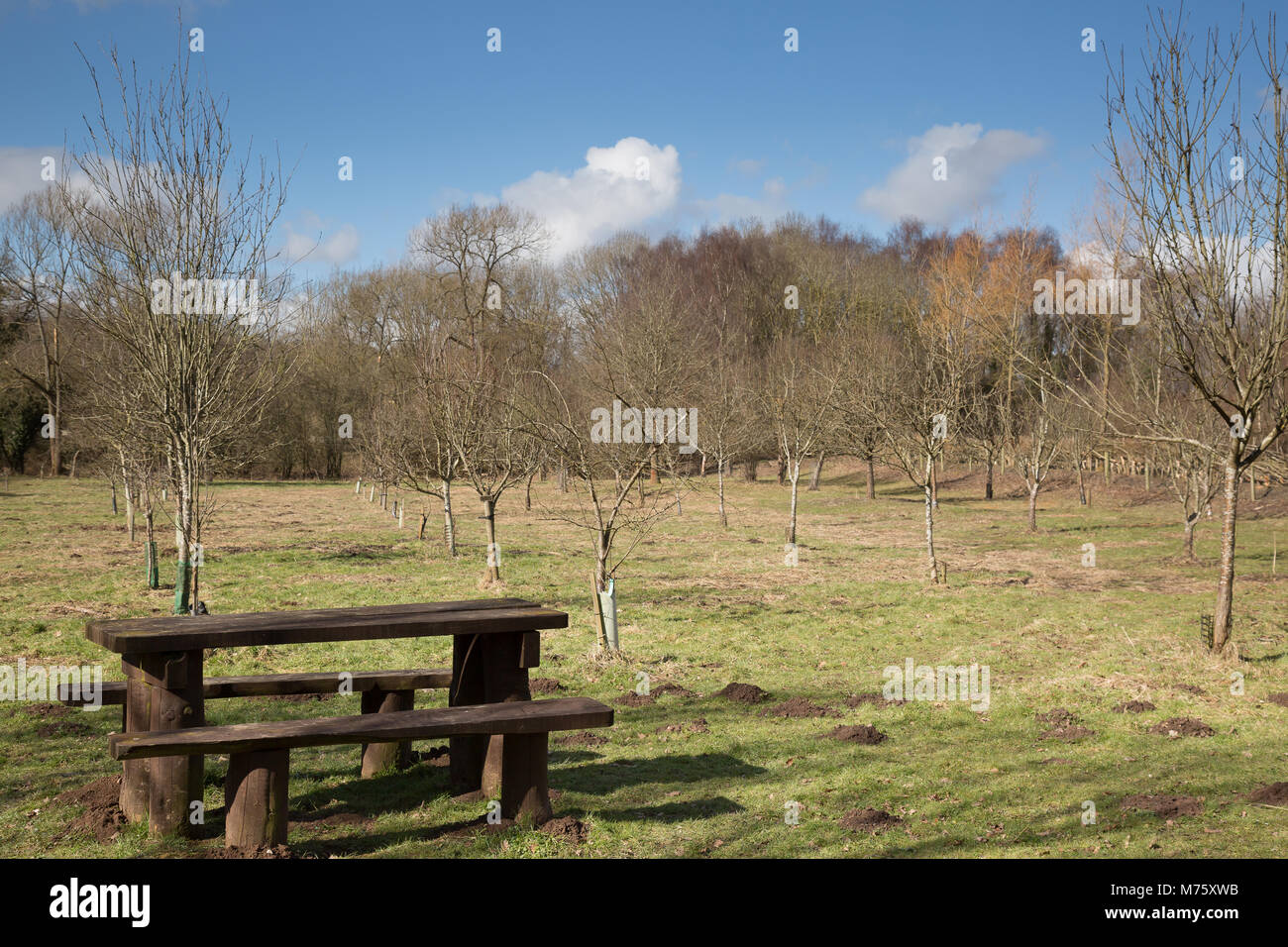 Empty picnic bench in sunny orchard area of public country park in Shropshire, UK, early March time. No people. - Stock Image