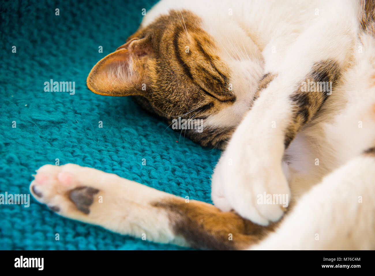 Tabby and white cat lying sleeping. - Stock Image