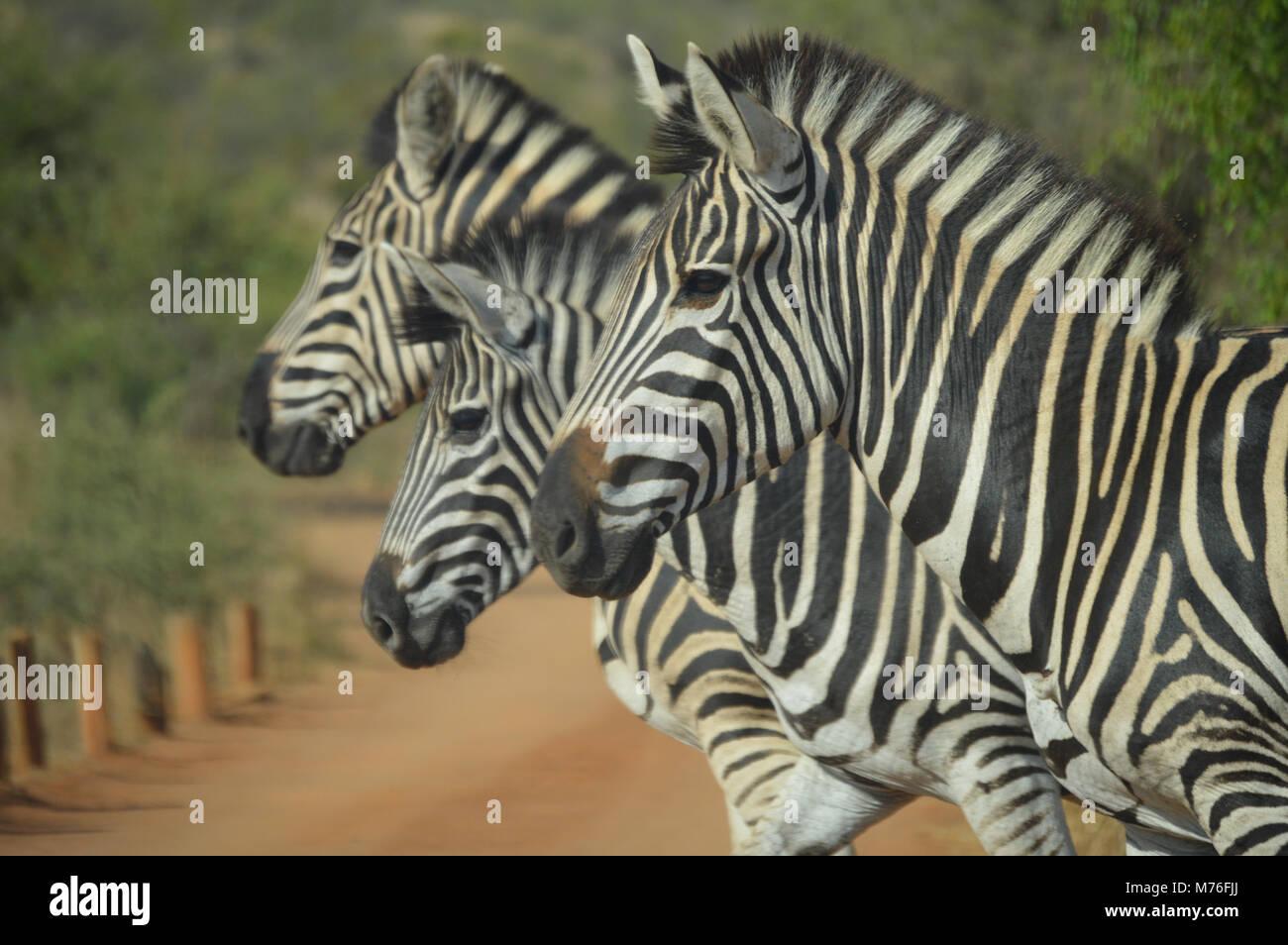 Cute Zebra in Kruger national park Stock Photo