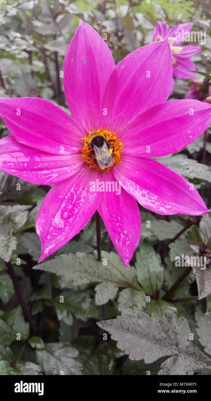 Bumble Bee at Work - Stock Image