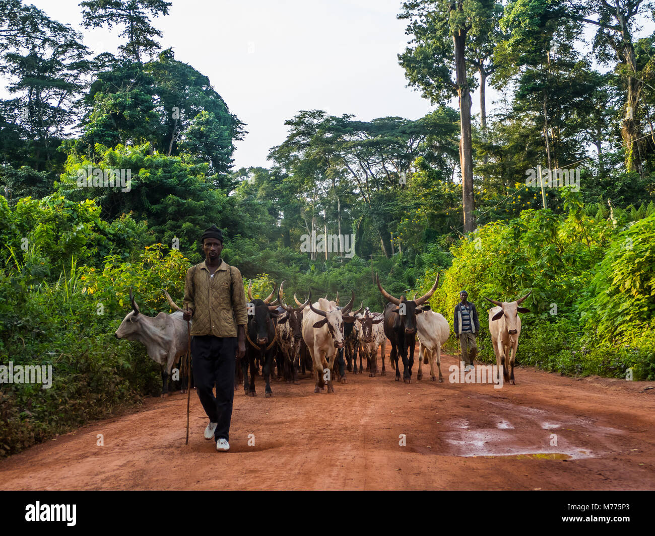 Local cow herd deep in the jungle, Cameroon, Africa - Stock Image