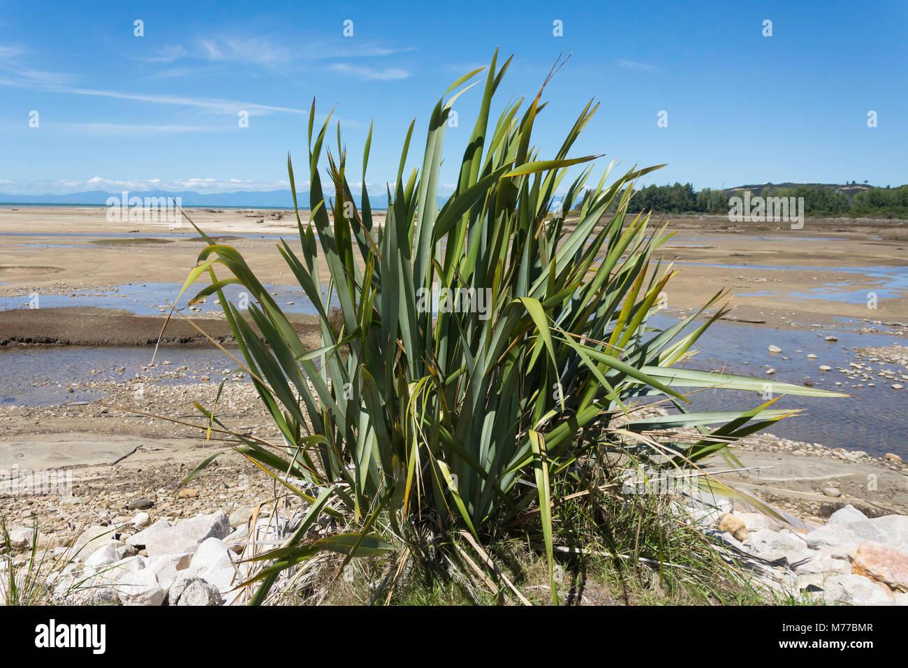 Native New Zealand Flax Plant (Formium), Sandy Bay, Abel Tasman National Park, Marahau, Tasman Bay, Tasman District, - Stock Image