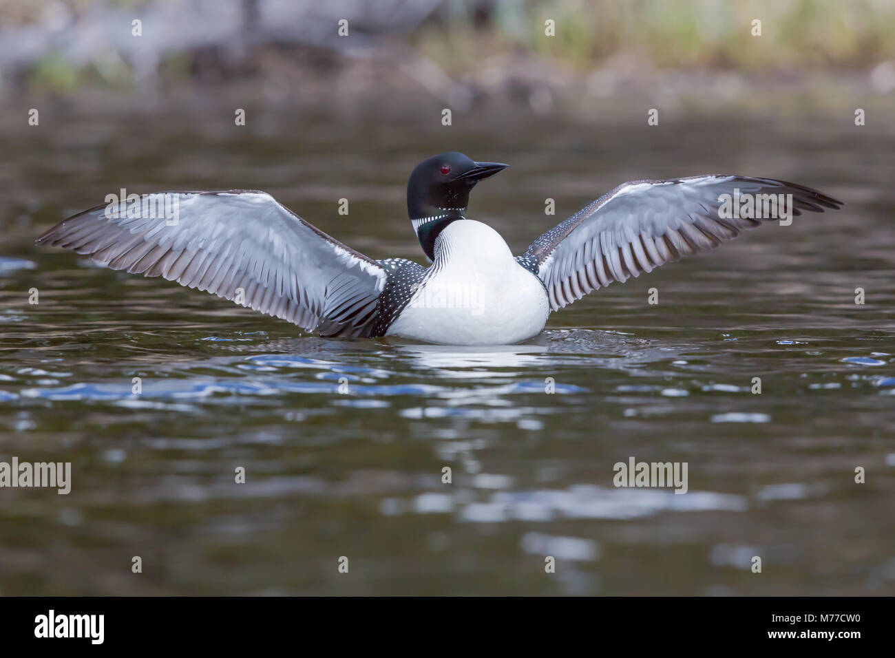The Common loon, a wilderness icon, with wings fully out - Stock Image