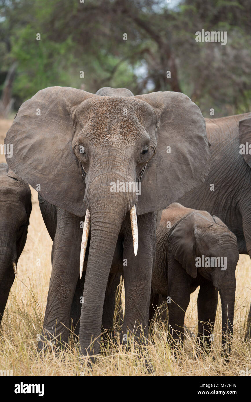 A mother and baby elephant (Loxondonta africana) in Tarangire National Park, Manyara Region, Tanzania, East Africa, - Stock Image