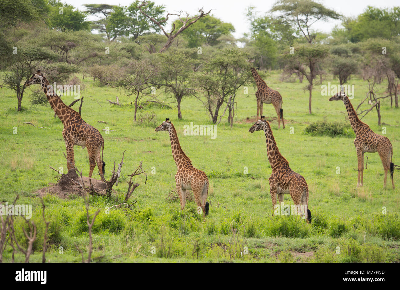 A group of Masai giraffes (Giraffa camelopardalis) in Serengeti National Park, UNESCO World Heritage Site, Tanzania, - Stock Image