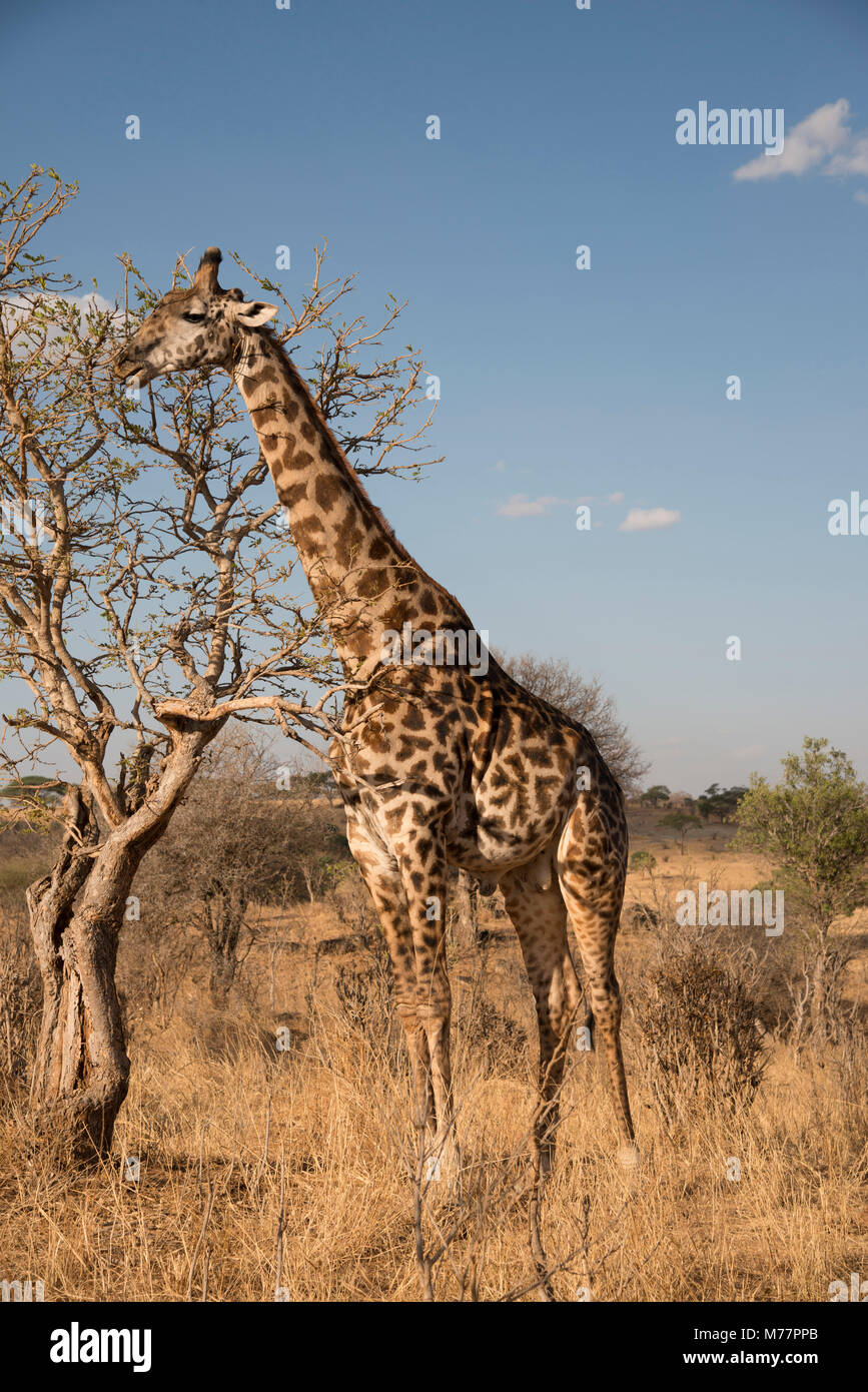 A Masai giraffe (Giraffa camelopardalis) eating acacia leaves in Serengeti National Park, UNESCO World Heritage - Stock Image