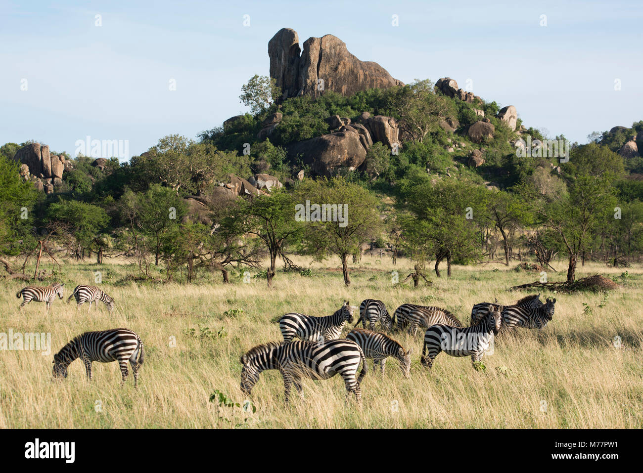 Burchells zebra (Equus burchelli) near a kopjes, in Serengeti National Park, UNESCO World Heritage Site, Tanzania, - Stock Image