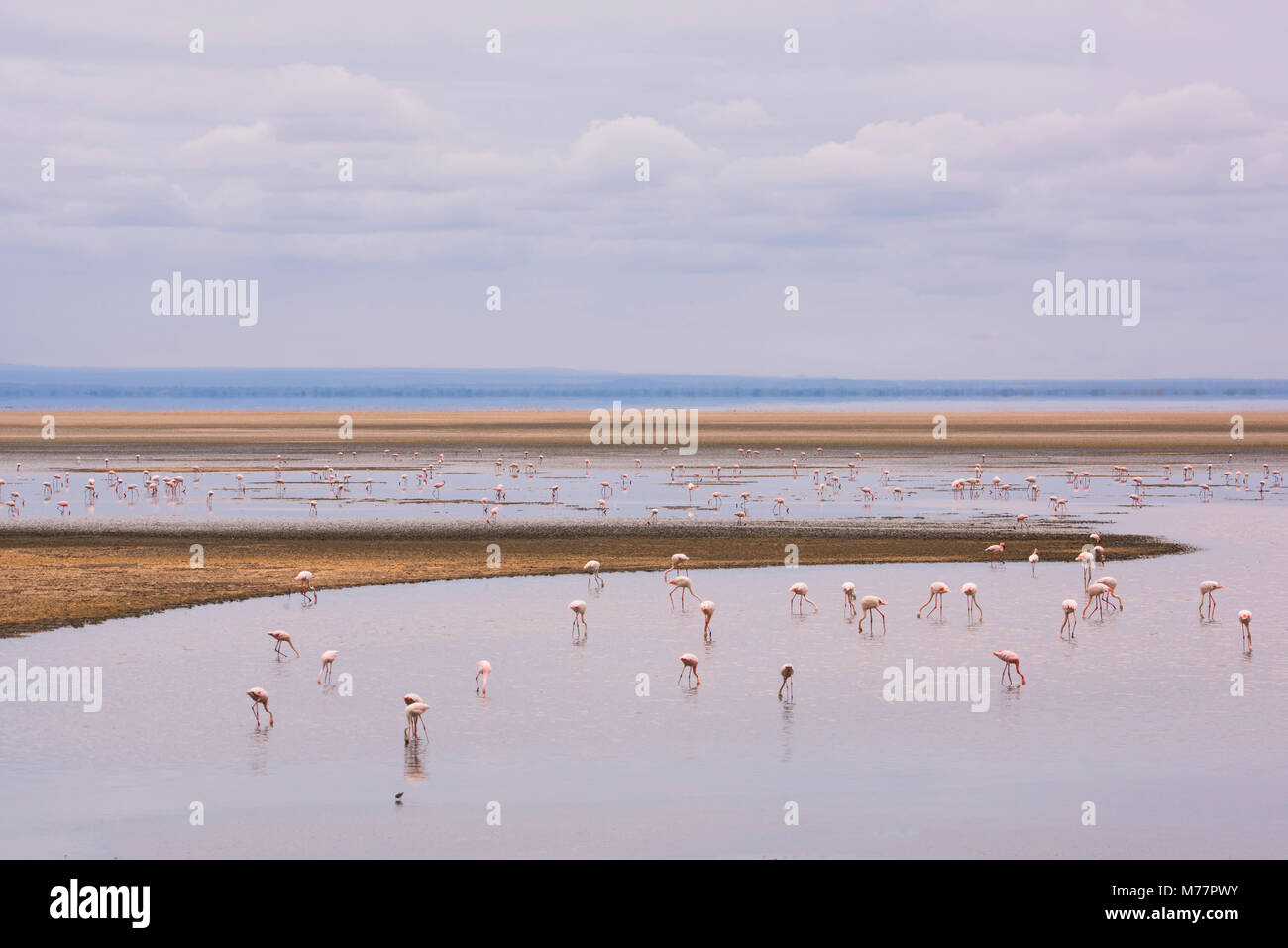 Flamingos on Lake Manyara in Lake Manyara National Park, Tanzania, East Africa, Africa - Stock Image