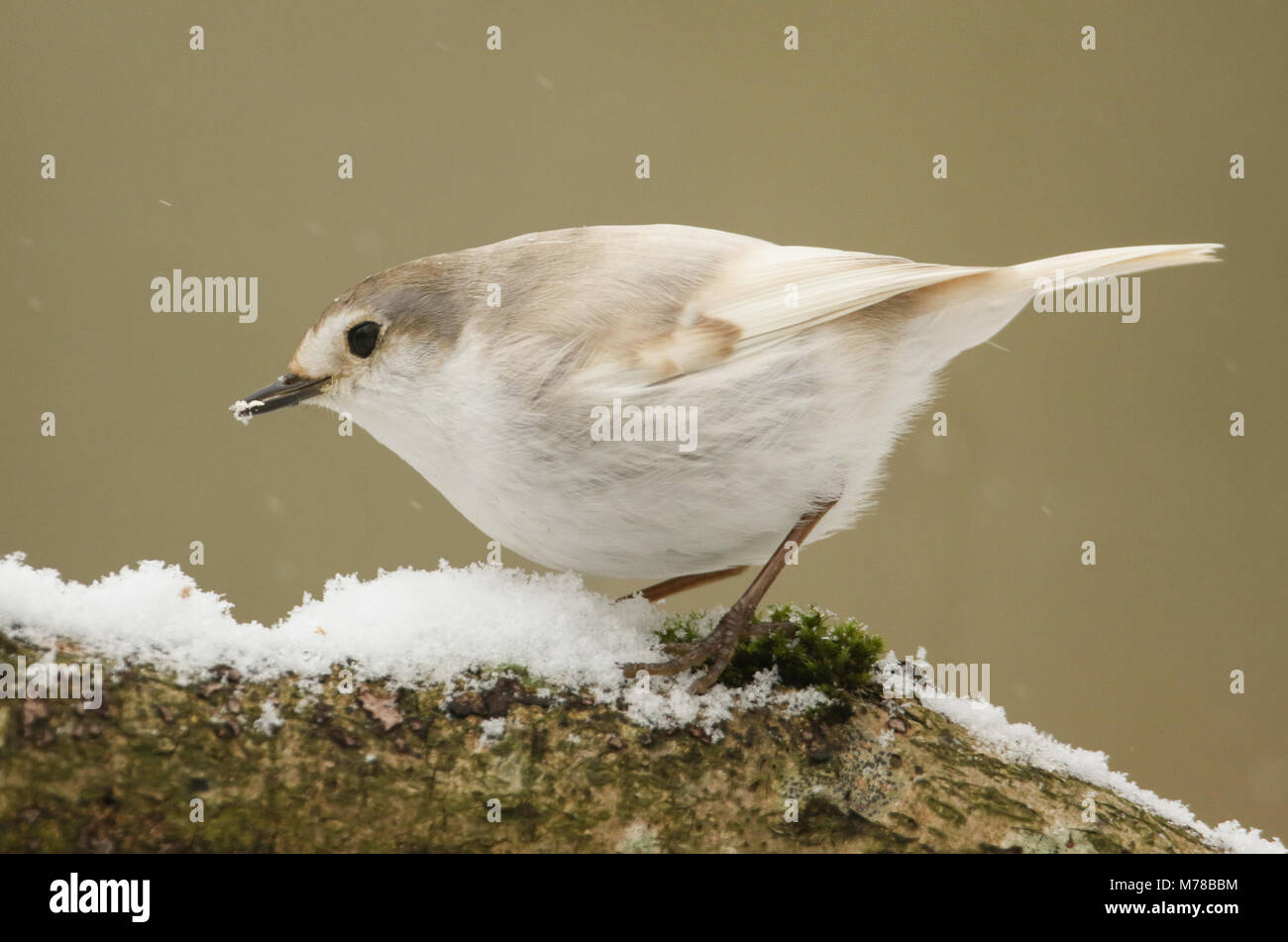 A rare feeding Leucistic Robin (Erithacus rubecula) perched on a branch covered in snow during a snowstorm. - Stock Image