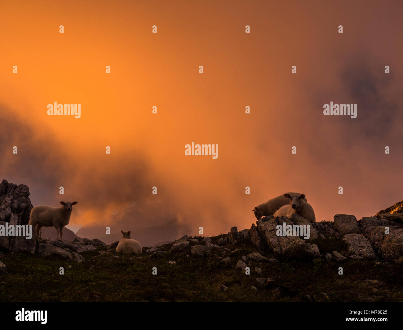 Sheeps on a hill during sunset with fog. - Stock Image