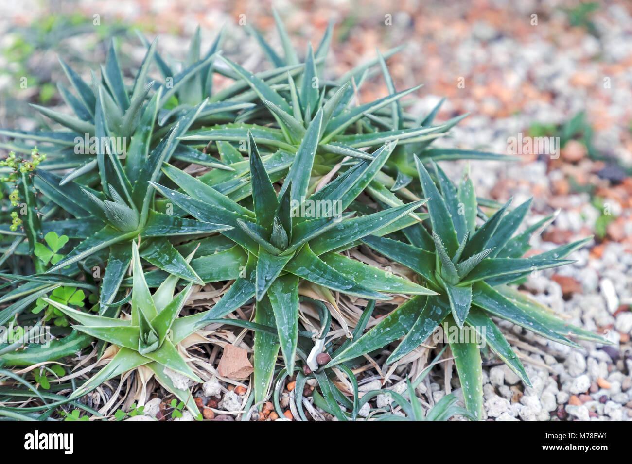 Succulents cactus in desert botanical garden and stone pebbles Stock ...