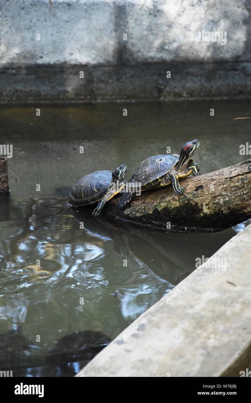 Turtle basking on drift wood - Stock Image