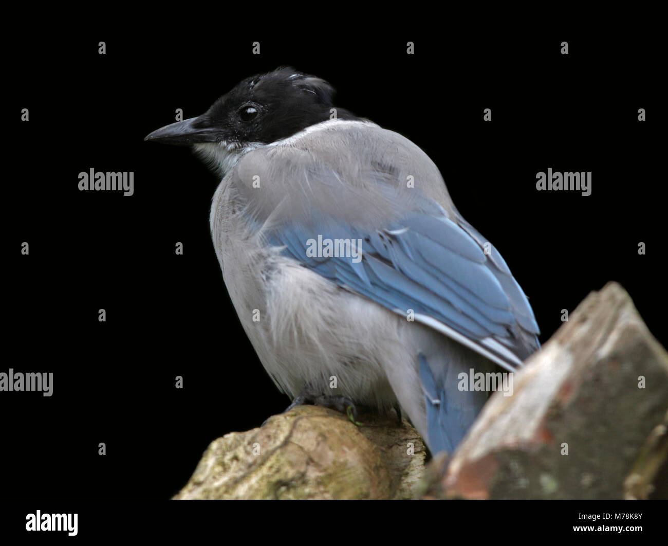 Azure-Winged Magpie (cyanopica cyan) - Stock Image