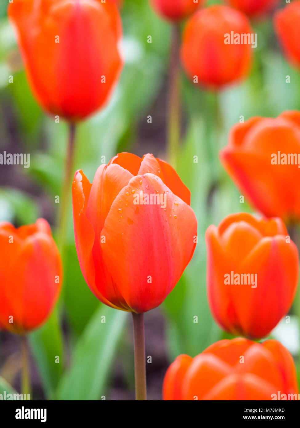 Field of tulips in Portugal. Soft selective focus. - Stock Image