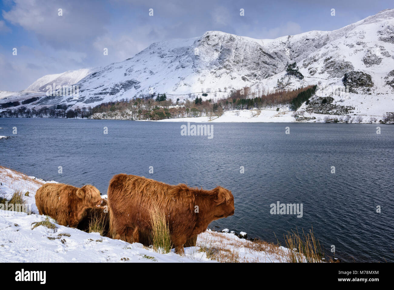 Winter farming conditions with snow covered fells and Highland Cattle by the lakeside at Buttermere in the English Stock Photo