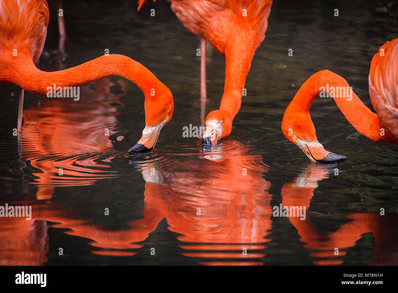 Flamingos or flamingoes are a type of wading bird in the family Phoenicopteridae. Red Flamingos come from America - Stock Image