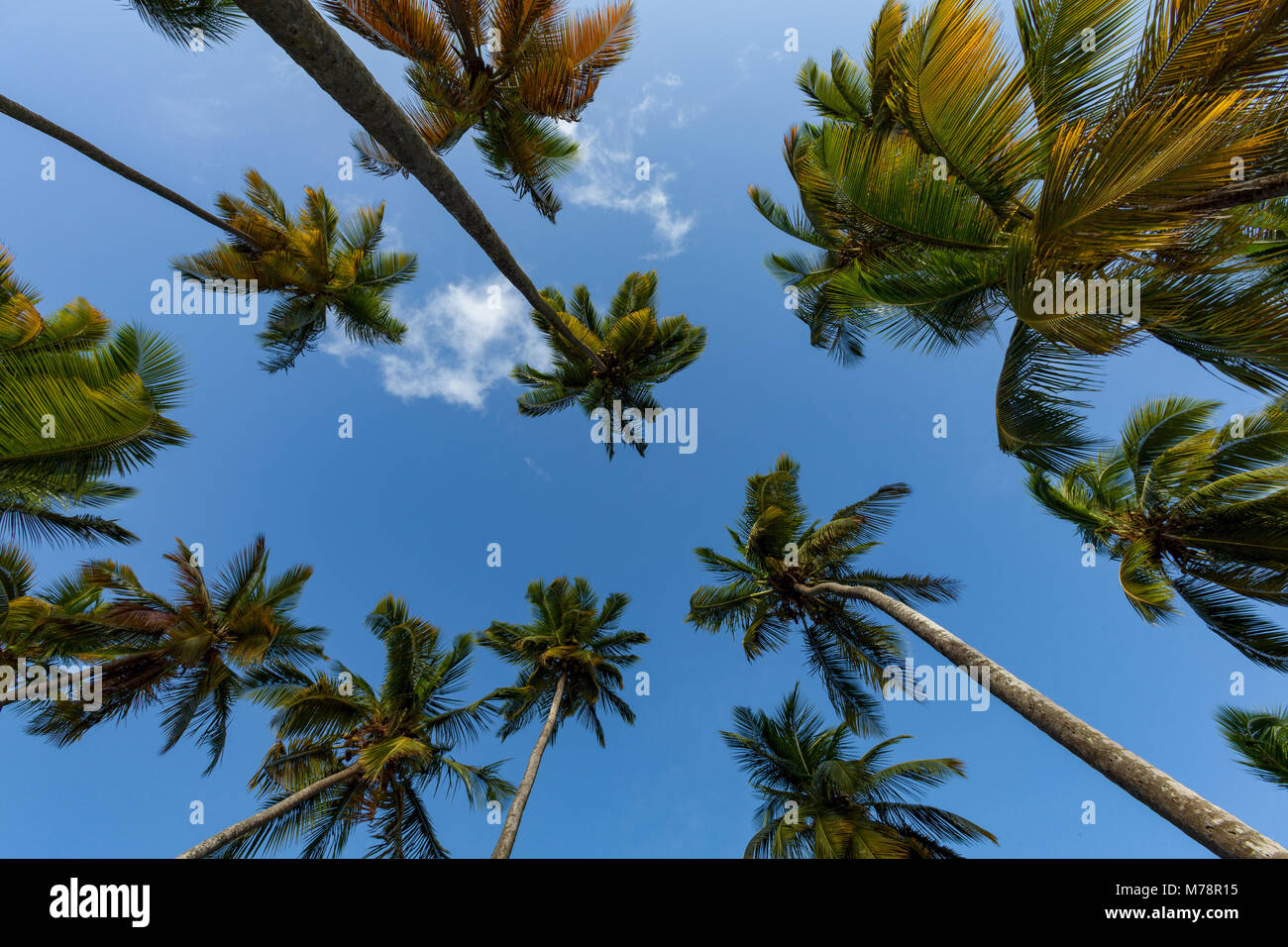Looking up at tall palms on the small beach at Marigot Bay, St. Lucia, Windward Islands, West Indies Caribbean, - Stock Image