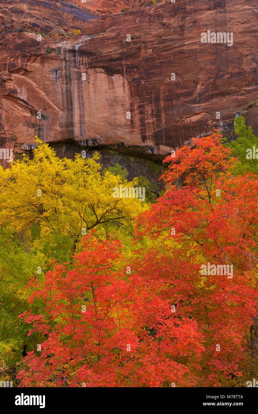 Bigtooth Maple, Acer grandidentatum, Weeping Rock, Zion National Park, Utah Stock Photo
