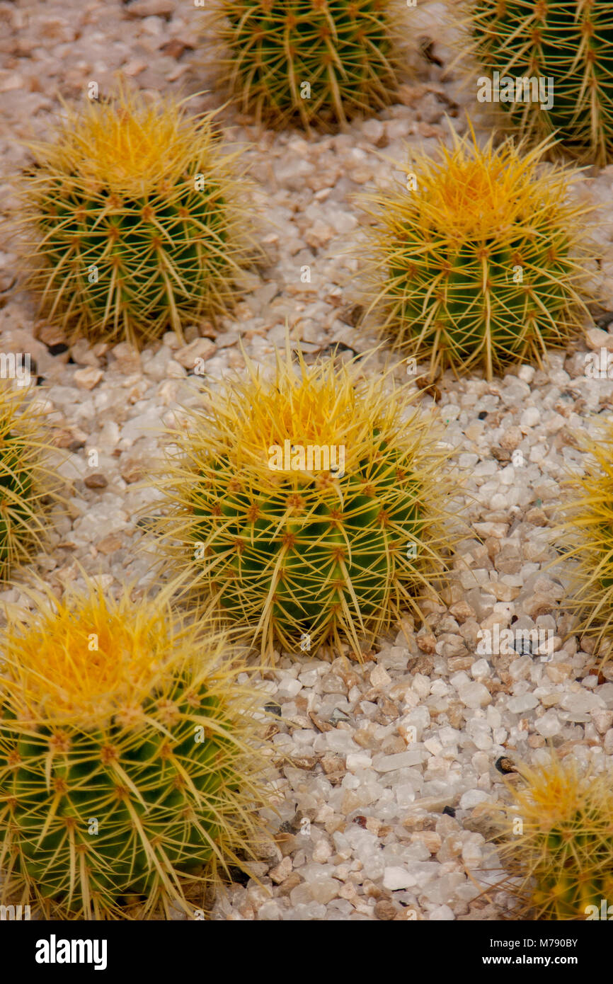 Barrel cactus vertical wallpaper, group of cactuses with pebble background Stock Photo