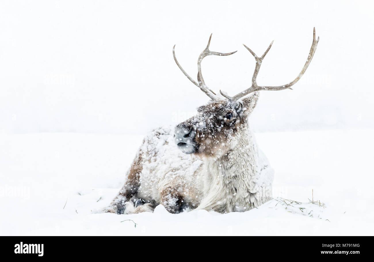 Boreal Woodland Caribou in a snowstorm, Rangifer tarandus, captive animal, Manitoba, Canada.. - Stock Image