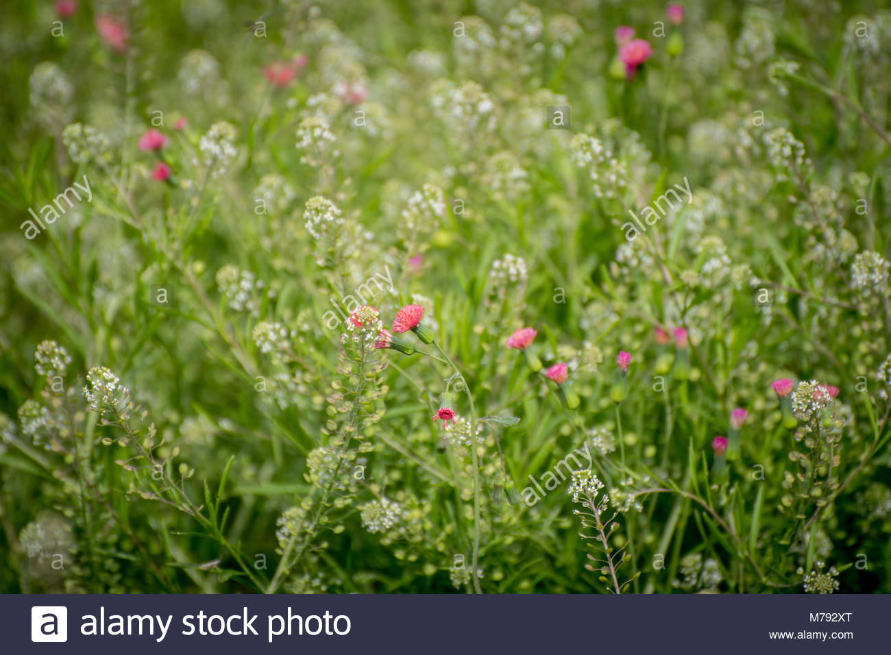 Tiny white flowers stock photos tiny white flowers stock images tiny pink flowers bloom in large field with endless blades of green grass and tiny white mightylinksfo