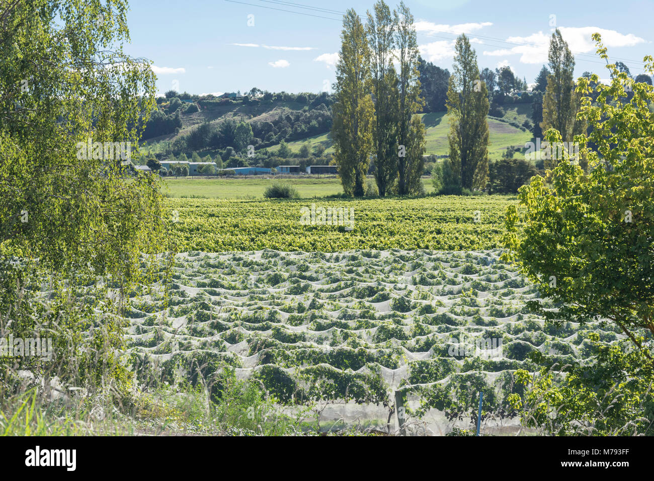Grape vines covered with netting, Upper Moutere, Tasman District, New Zealand - Stock Image