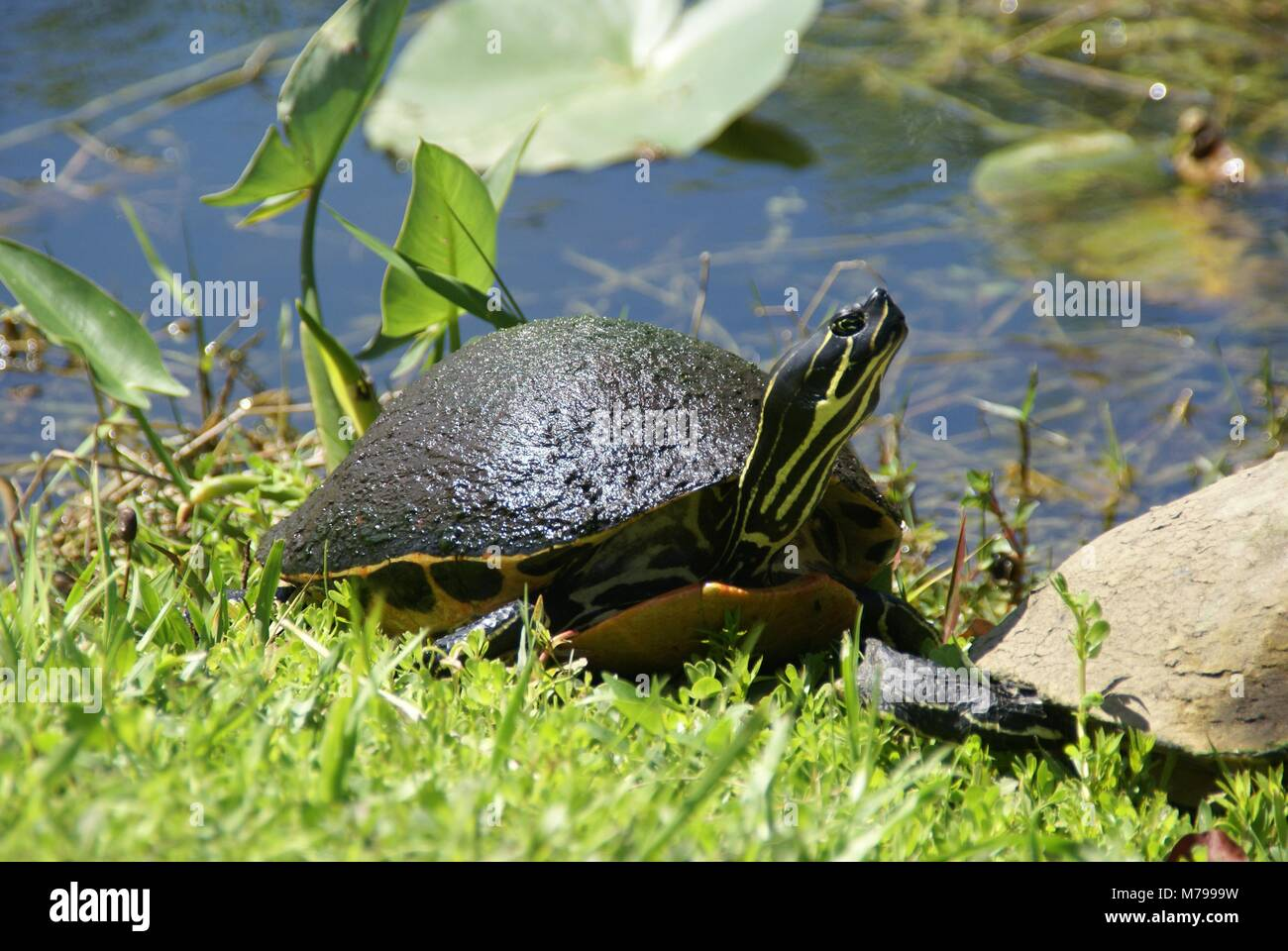 Florida red-bellied cooter or Florida redbelly turtle in everglades florida US Stock Photo
