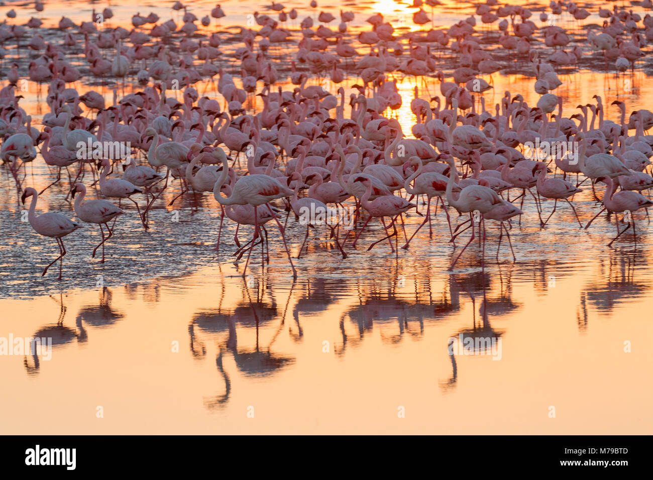 A huge colony of pink flamingos is feeding during sunset at Walvis Bay on the Namibian coast in southern Africa - Stock Image