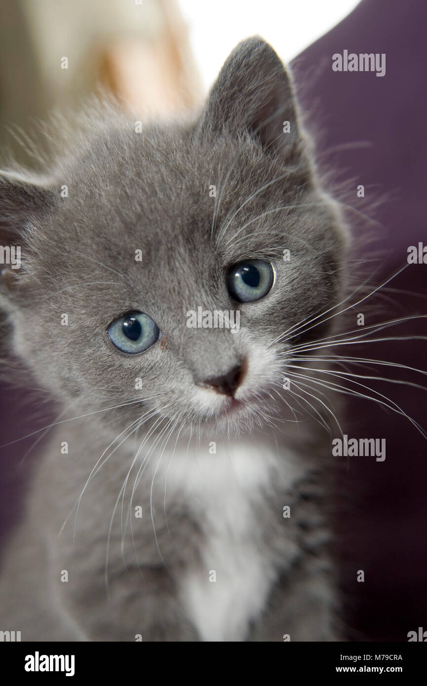 To kittens and one kitten, grey an black/white coloured - Stock Image
