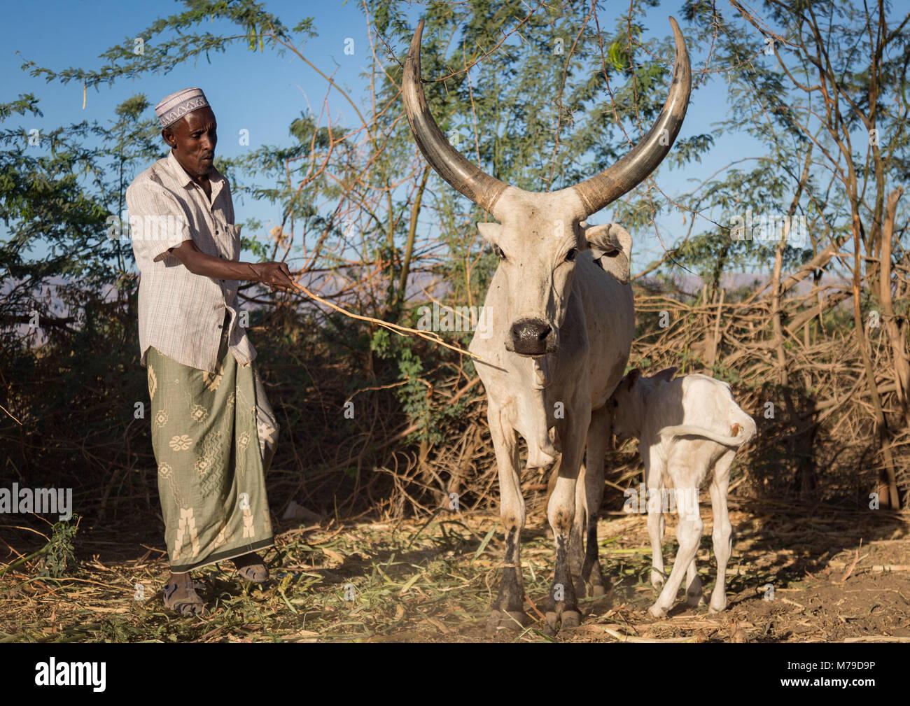 Cows and farmer in an afar tribe farm, Afar region, Afambo, Ethiopia - Stock Image