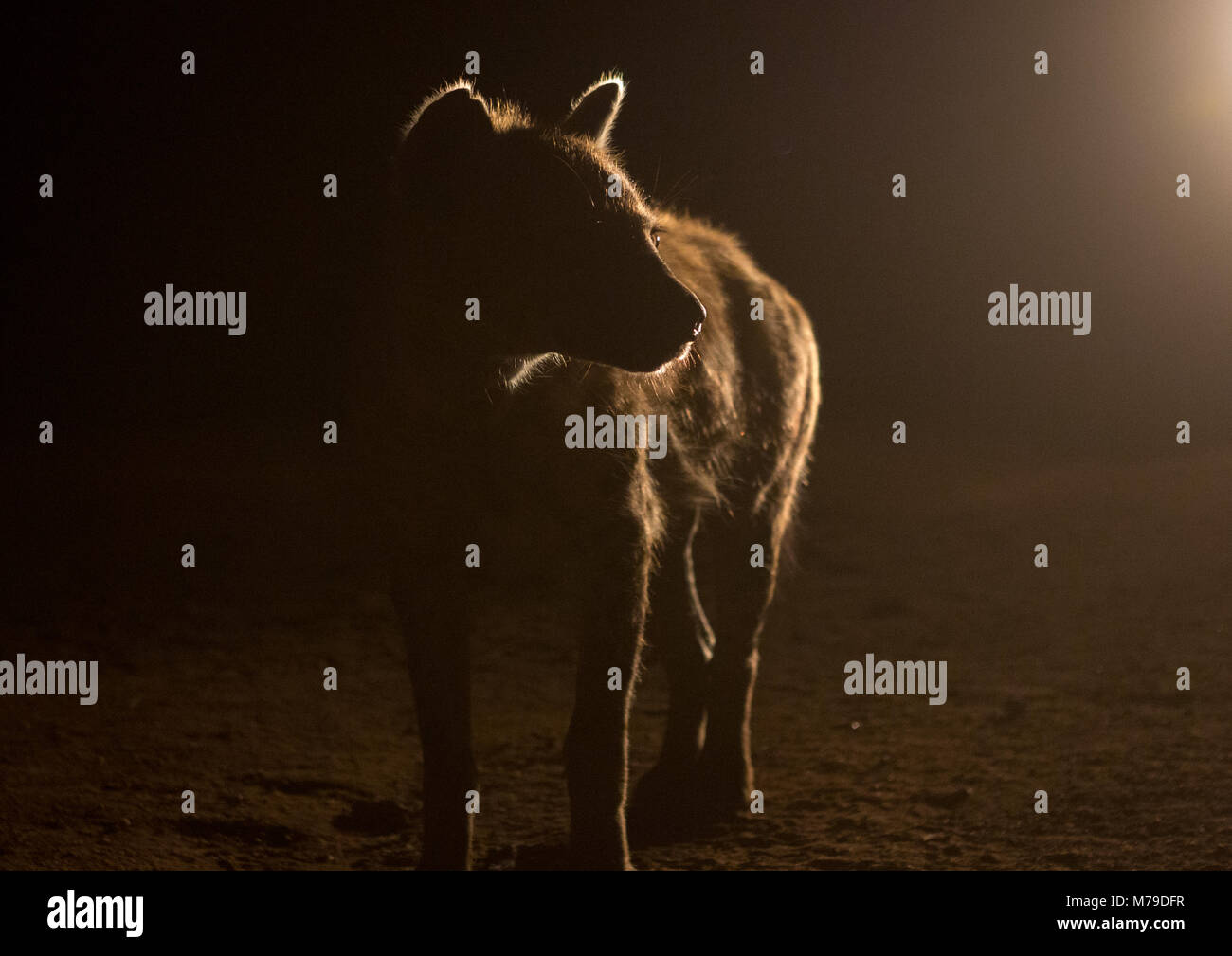 Hyena after feeding, Harari region, Harar, Ethiopia - Stock Image