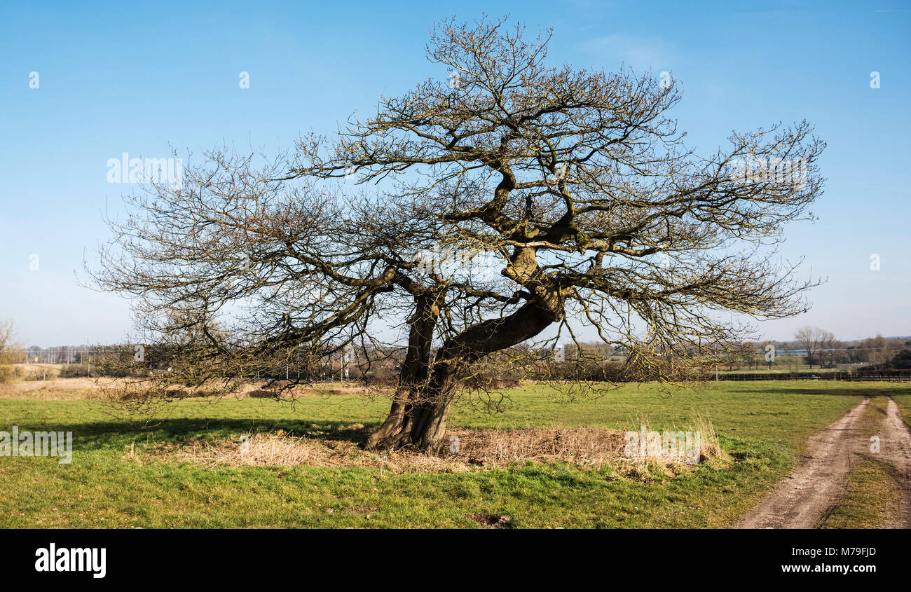 An old shapely leafless tree growing in the countryside on an early spring morning. England UK - Stock Image