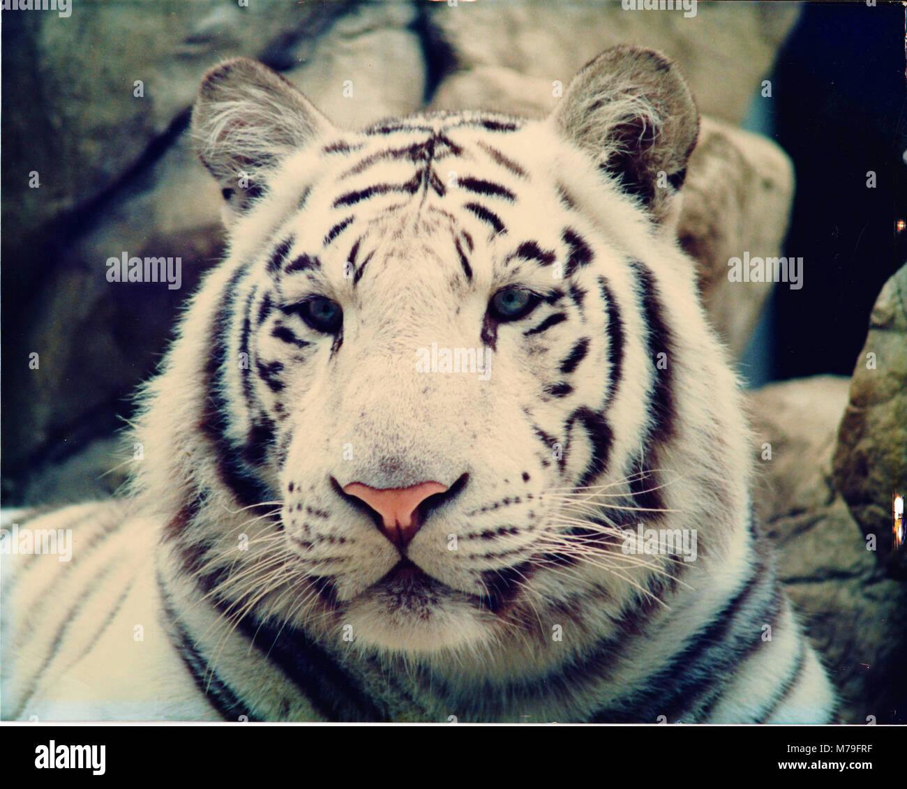 White tiger at the Omaha Zoo - Stock Image