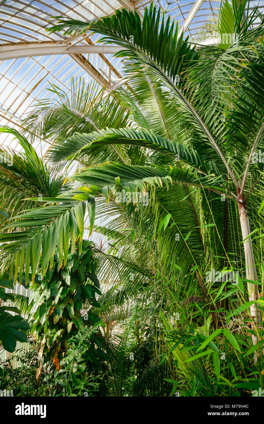 Victorian Palm House greenhouse interior with exotic tropical trees and plants, Kew Gardens  botanical garden, Southwest Stock Photo