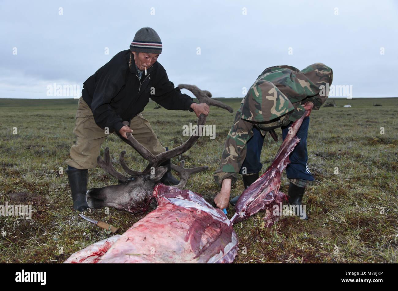 Asia, Russia, Siberia, region of Krasnojarsk, Taimyr peninsula, slaughtered reindeer, reindeer nomads, - Stock Image