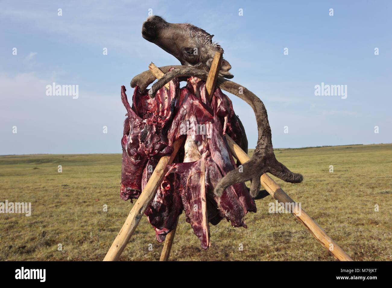 Asia, Russia, Siberia, region of Krasnojarsk, Taimyr peninsula, slaughtered reindeer, - Stock Image