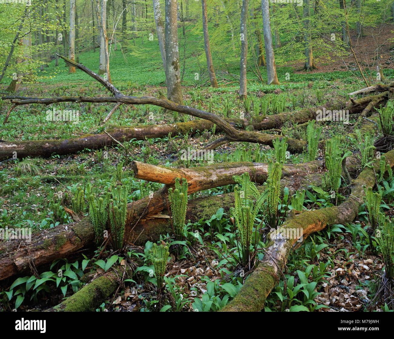 Sweden, Skane, Maltesholm, beech forest, Scandinavia, scenery, nature, wood, ecosystem, spring awakening, trees, - Stock Image