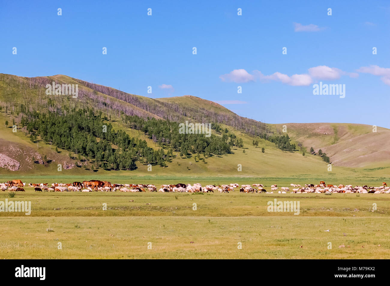 Herds of horses, sheep & goats graze on grasslands of central Mongolian steppe - Stock Image