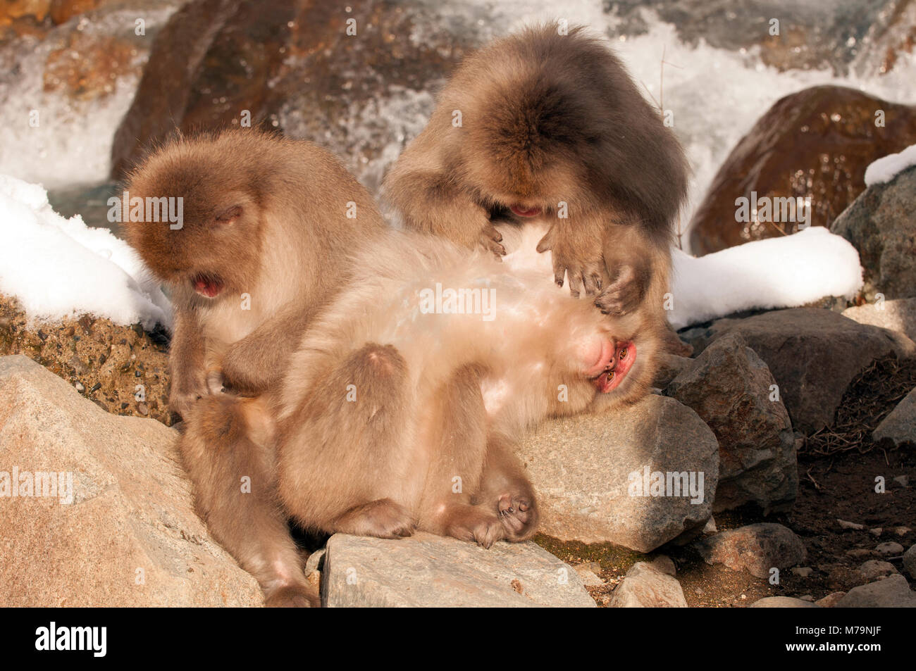 Japanese macaque or snow japanese monkey (Macaca fuscata) family, Japan Stock Photo