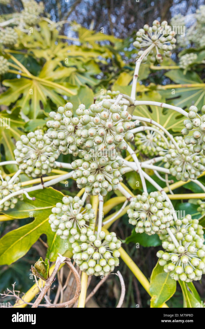 Fatsia japonica (Japanese aralia, Castor oil plant) flower heads growing in late Winter in West Sussex, England, - Stock Image